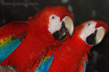Scarlet macaws in Belize