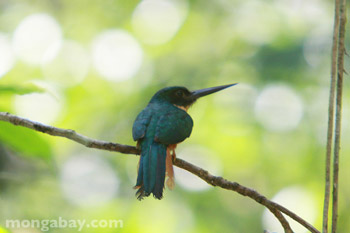 Rufous-tailed Jacamar in Belize