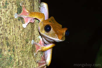 Boophis tree frog in Madagascar