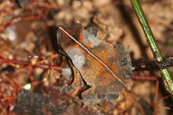 Leaf toad in the Colombian Amazon