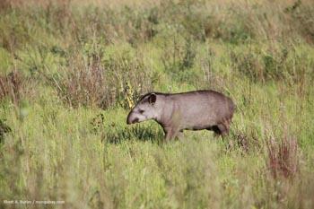 Tapir au Brésil