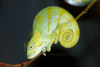 Striped juvenile Parson's chameleon