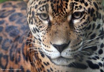 Jaguar en Colombie