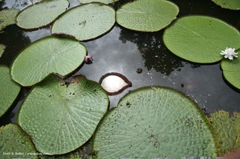 Amazon water lillies