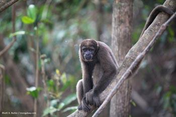 Singe laineux en Colombie