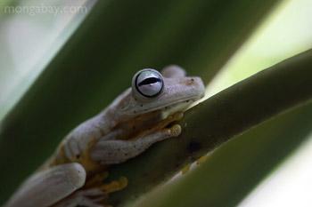 Gladiator tree frog in Costa Rica
