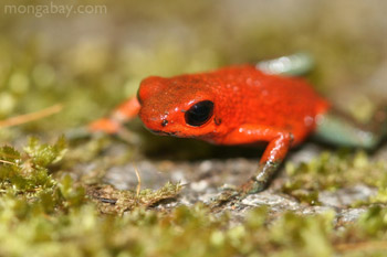 Red-and-green poison arrow frog