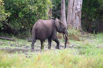 Elefante del bosque