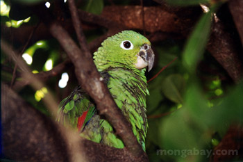 Green Parrot in Honduras