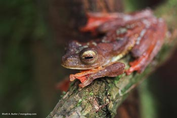 Tree frog in Borneo