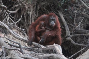 Mother Bornean orangutan with baby In Borneo