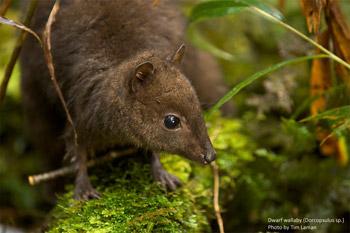 Walabí enano (Dorcopsulus sp.) tomado por Tim Laman durante la expedición a Indonesia Nueva Guinea en el 2010