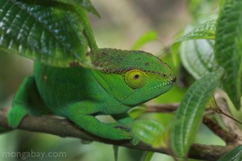 Female Parson's chameleon with green coloring and a yellow eye