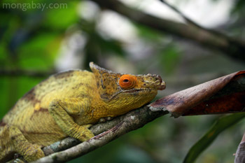 Yellow and orange Parson's chameleon