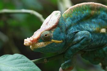 Blue-green Parson's chameleon