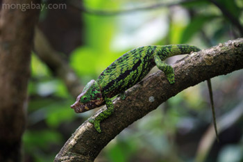 Male Calumma globifer chameleon in Madagascar