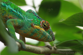 Male panther (Furcifer pardalis) chameleon in Madagascar