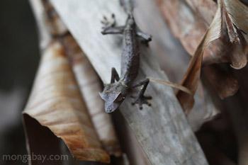 Satanic Leaf-tail Gecko (Uroplatus phantasticus)