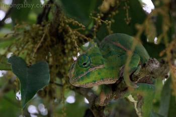 Koch's day gecko (Phelsuma madagascariensis kochi) in Madagascar
