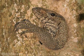 Monitor lizard (Varanus salvator) in Malaysia