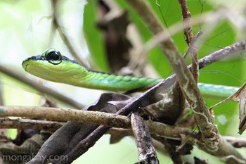 Tree snake in Taman Negara National Park, Malaysia