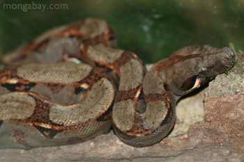 Boa constrictor in Bocas del Toro