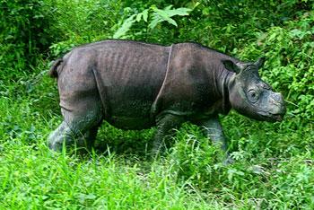 Sumatran rhino in Borneo