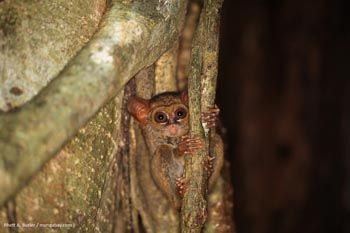 One of the world's smallest primates, the tarsier, lives in Sulawesi