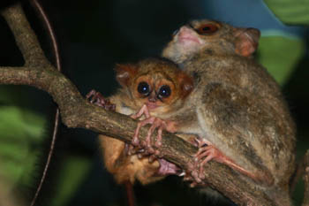 Mother spectral tarsier with baby