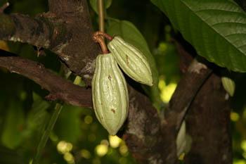 Vainas de cacao