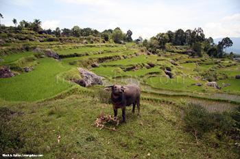 Búfalo de agua en campos de arroz cerca a la villa de  Batutomonga en Sulawesi Sur