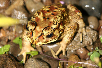 Yellow and brown toad in Sulawesi