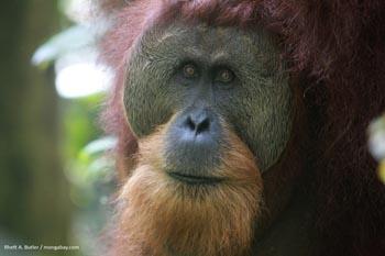 Macho orangután de Sumatra