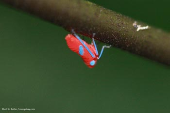 Pink planthopper insect