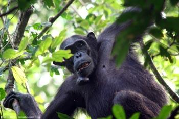 Chimpancé en Uganda