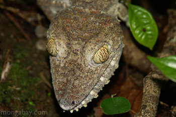 Giant leaf-tail gecko (Uroplatus fimbriatus) in Madagascar