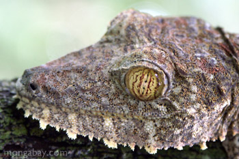 Uroplatus fimbriatus - side angle head shot