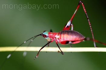 Red katydid with a green head and black antennae