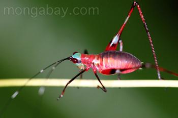 Rote Laubheuschrecke mit grünem Kopf und schwarzen Fühlern