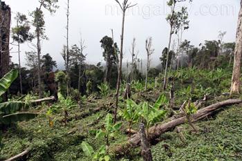 Abgeholztes Waldgebiet für den Anbau von Bananen und anderen Früchten.