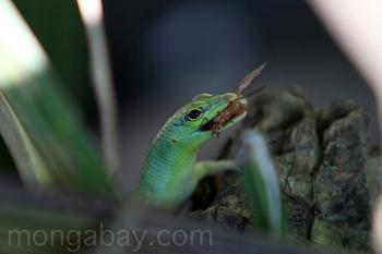 Eine grüne Eidechse frisst ein Insekt