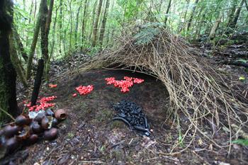 Pájaro Jardinero en su enramada con frutas rojas y otros artículos para atraer a las hembras