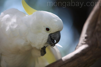 Sulphur-crested Cockatoo in Indonesian New Guinea