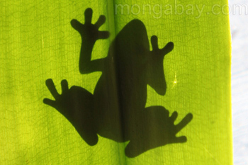 Tree frog silhouetted on a rainforest leaf