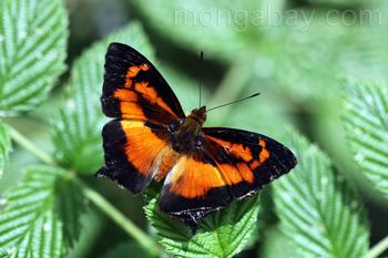 Schmetterling mit schwarz-orangener Färbung
