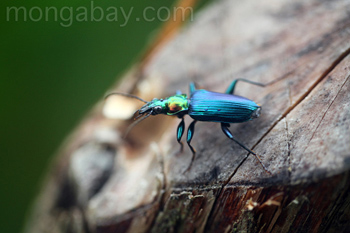 Metallic blue, green, and orange beetle