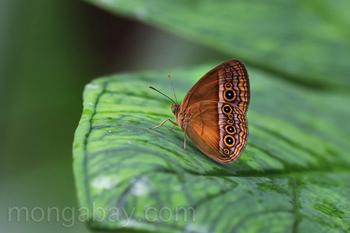 Mariposa de color naranja con manchas oculares impresionantes