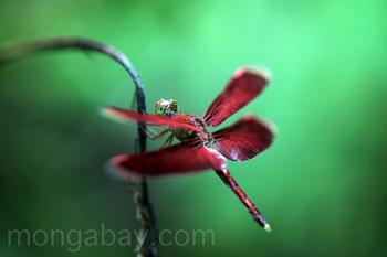 Libélula roja de Grasshawk