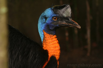 Golden-neck Cassowary