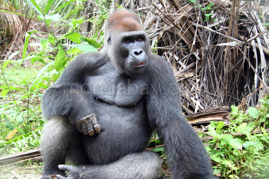 Congo Slideshow Male Silverback Gorilla